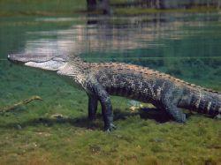 Alligator in Santa Fe River/Ginnie Springs. Photo taken w... by Marko Wramén