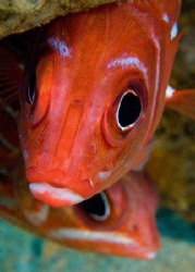 Close up of a Squirrelfish taken on the wreck of 'the bar... by Paul Colley