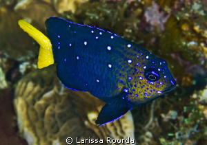 Yellowtail Damselfish (Microspathodon chrysurus) by Larissa Roorda