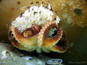 lifted metal plate found this octopus looking after her eggs. Carefully put back down but discovered subsequent dive days later some moron had turned left eggs exposed die. die :-( :(