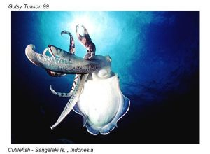Cuttlefish - Sangalaki Is., Indonesia  taken with Nikonos... by Scott D. Tuason