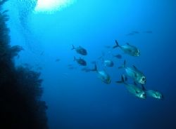 School of Jacks, Cat Cay Wall, Cat Cay, Bahamas. Nikon Co... by Kent Bonde
