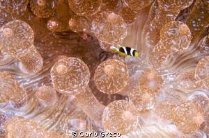 I am so tiny!   Juvenile anemone fish in bubble anemone by Carlo Greco