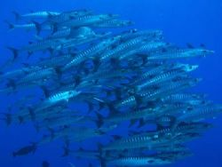 The lone trevally seems to be well adopted :) Indonesia,... by Erika Antoniazzo