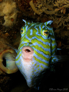 What's the matter, haven't you seen a whistling cowfish b... by Brian Mayes