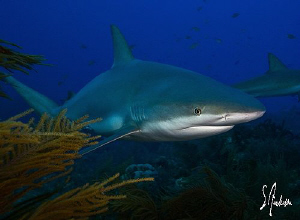 The Reef Sharks came from behind coral heads and sea fans... by Steven Anderson