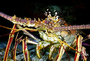 This image of a Spiny Lobster was taken in 2008 while div... by Steven Anderson