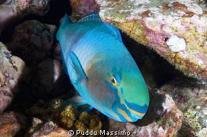 parroth fish night dive nikon d2x 17-35mm by Puddu Massimo