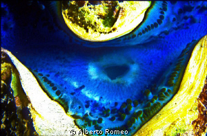"""The """"osculum"""" of a Tridacna gigas. by Alberto Romeo"""