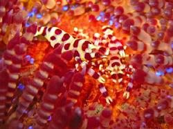 Coleman Shrimp on a sea urchin taken in Tulamben, Bali. ... by James Dawson