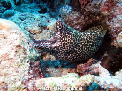 Leopard morray eel desperately breathing by Daniel Petitmermet