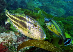 According to the Aussies, these Filefish are wearing leat... by Brian Mayes