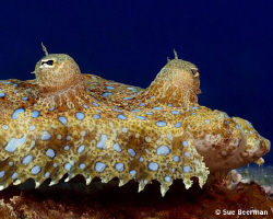 Eyes and mouth of a Peacock Flounder by Susan Beerman