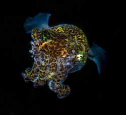 Bobtail Squid by Steffen Binke