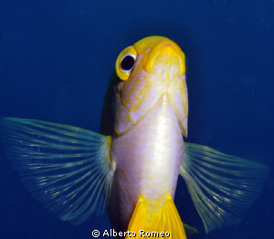 Portrait of an Yekkow Damselfish by below. by Alberto Romeo