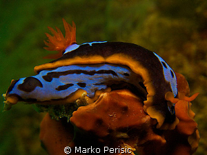 Chromodoris westraliensis Mettams Pool Western Australia by Marko Perisic