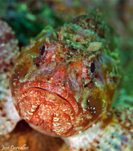 Scorpion fish - River Gurara, Sesimbra, Portugal. by José Carvalho