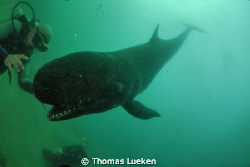 encounter with a false killerwhale by Thomas Lueken