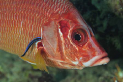 Squirrelfish & cleaner wrasse by Paul Colley