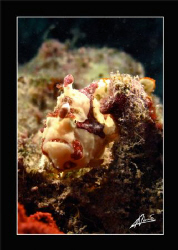 clown frogfish in Kapalai house reef - BORNEO by Adriano Trapani