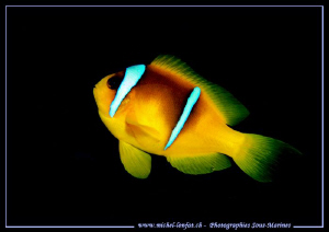 Little Clown fish... Que du bonheur... :O)... by Michel Lonfat