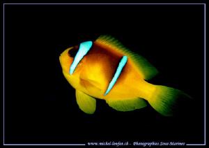 Little Clown fish... Que du bonheur... :O)... by Michel Lonfat