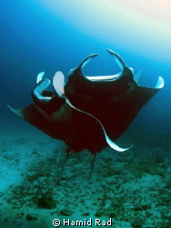 Dancing mantas - Donkalo/manta point, Maldives. Canon G9 ... by Hamid Rad