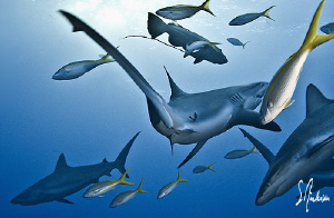 As the sharks gathered over the reef, several of the shar... by Steven Anderson