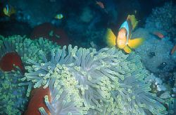 Photo was taken in the red sea (Dedalus Reef, Oktober 200... by Holger Burmester