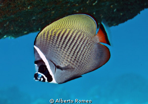 Portrait of a Red Tailed Butterflyfish ( Chaetodon collare) by Alberto Romeo