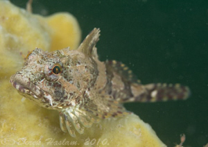 long spined scorpion fish. Menai staits. D3, 105mm. by Derek Haslam