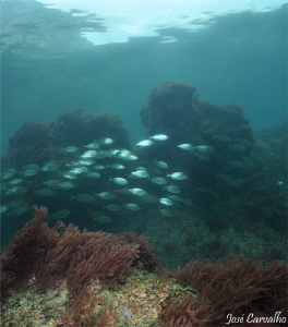 Schoal of salpa in a shallow area near Sesimbra, Portugal. by José Carvalho
