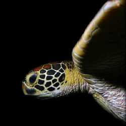 Green Turtle 1:1 by Martin Dalsaso