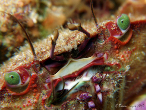 Green eyed monster. (Nectocarcinus sp.) by Brian Mayes