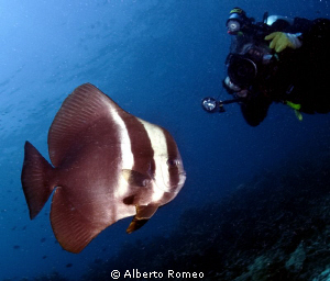 Photographing the  Longfinned Batfish (Platax teira) by Alberto Romeo