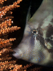 Fan-bellied Leatherjacket, Shiprock by Doug Anderson