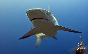 This Reef Shark is moving with some velocity and speed, n... by Steven Anderson