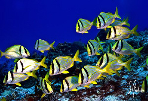 This image of a school of Porkfish was taken today at Ced... by Steven Anderson