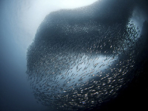 """""""Sardines Ball""""  A huge school of sardines is located a... by Henry Jager"""