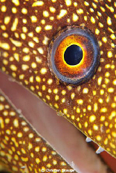 A goldentail moray getting real up close and personal at Invisibles, Bonaire. Nikon D300 in Nexus housing, 2z Inon Z-240 strobes.