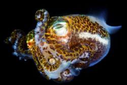Squid (Bobtail) by Steffen Binke