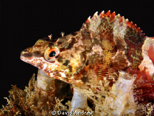 Painted Greenling (Oxylebius pictus) at La Jolla Shores. by David Andrew