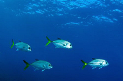 Unusual line up of 4 Horse-eye Jacks off Grand Cayman by Paul Colley