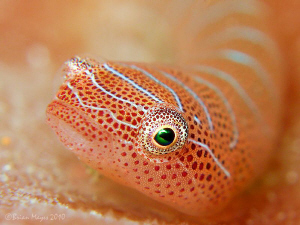 "OK Im ready my close up. .................Tiny 15mm Western Cleaner Clingfish Cochleoceps bicolor up."" up"" Tiny"