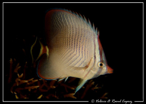 Picture taken during a night dive in Thailand. by Raoul Caprez