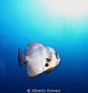Longfinned Batfish (Platax teira) and  backlight sun. by Alberto Romeo