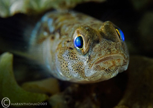 Painted goby. Connemara. D3 60mm & Woody's by Mark Thomas