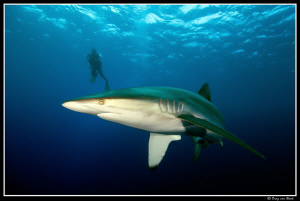 Silky shark at Daedalus reef. by Dray Van Beeck