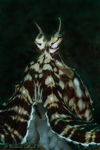Mimic Octopus posing for a portrait,no cropping-Lembeh by Richard Goluch