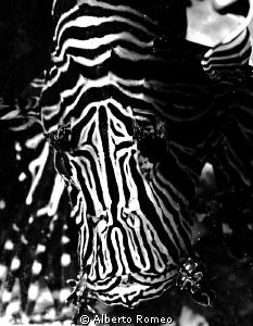 Black & White Lion Fish. by Alberto Romeo